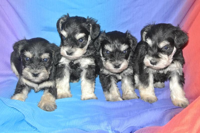Male puppy on left available!