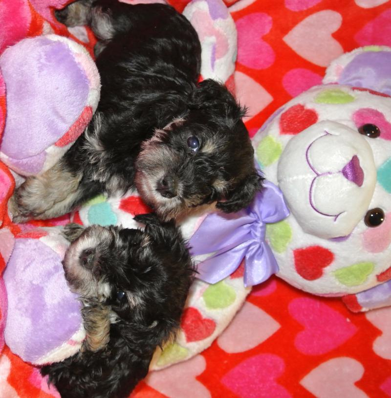 Do Female Dogs Get Their Period After Being Spayed