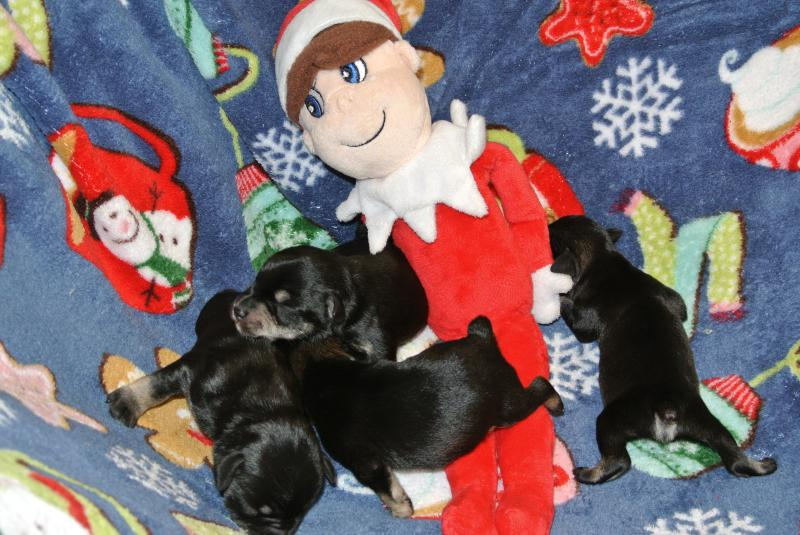 Three black amp silver females will be ready for homes about 3rd week in