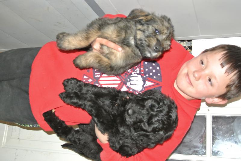 Toy Poodle furthermore giantschnoodlesandminiatureschnauzers as well Aussiedoodle Rescue Shelter likewise Puppies further Poodle Rescue. on standard poodles for adoption colorado