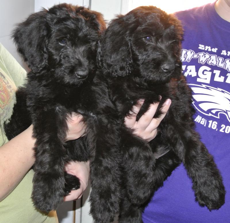 Giant Schnoodle available puppies! Male on left, female on right!