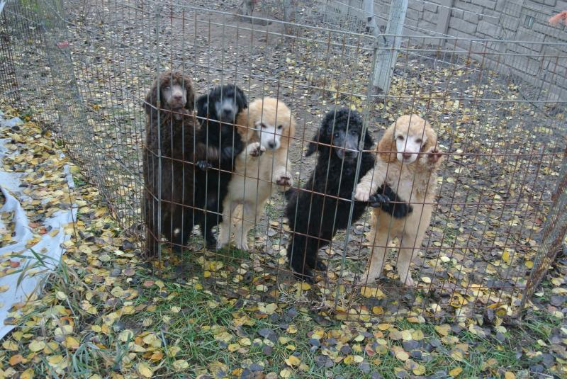 Our final Standard Poodle litter!