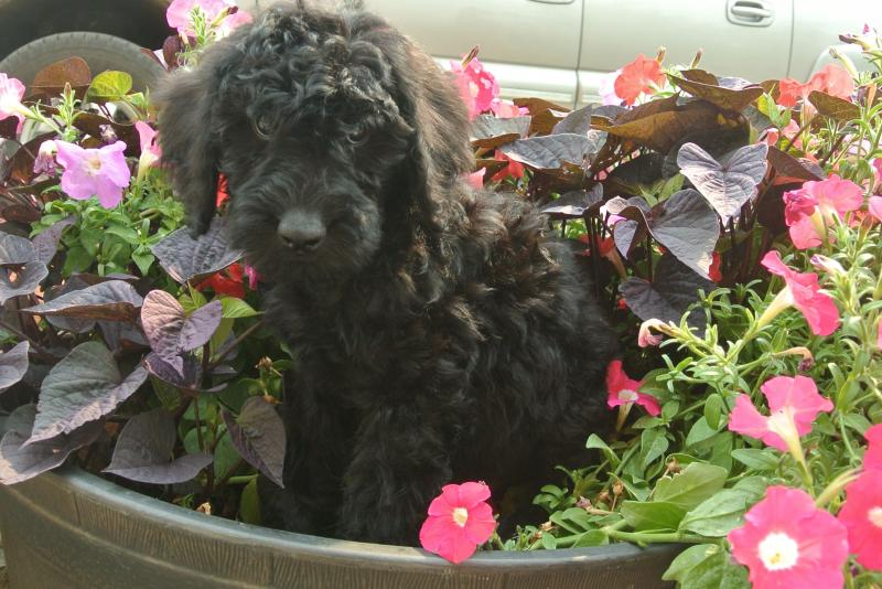 Giant Schnoodle male puppy available now!